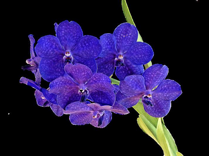 hana-orquidea